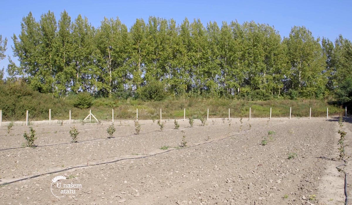 Agrosaveti - Zasadi mlade leske 02