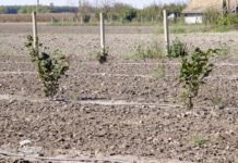 Agrosaveti - Zasadi mlade leske 04