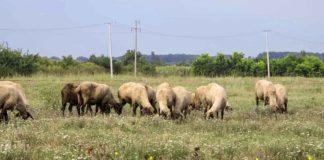 Agrosaveti - Ovčarstvo u Srbiji 01