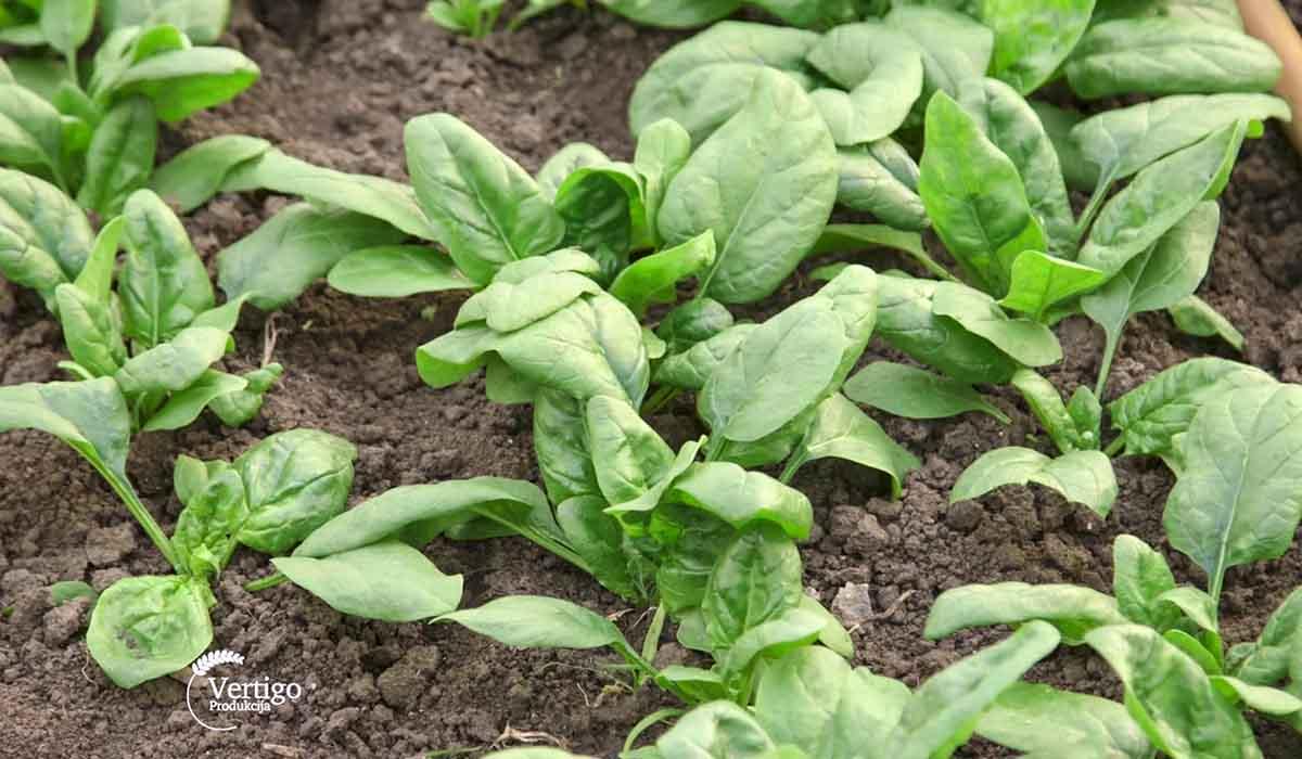 Agrosaveti - Povrtarska proizvodnja Žuržuj 03