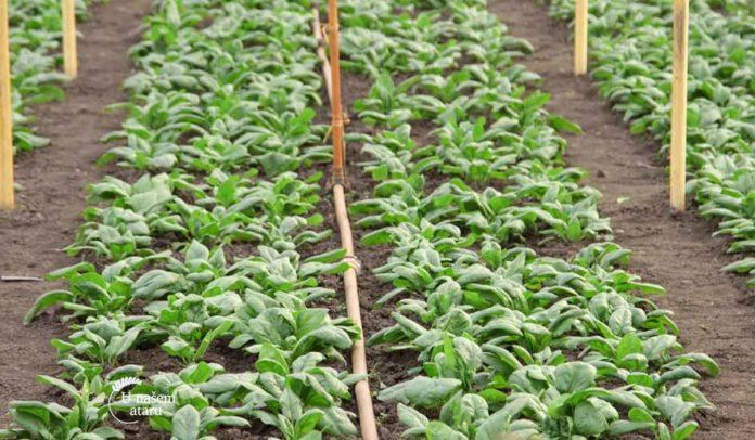 Agrosaveti - Povrtarska proizvodnja Žuržuj 04