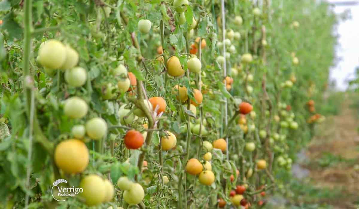 Agrosaveti - Proizvodnja domaće zimnice 02