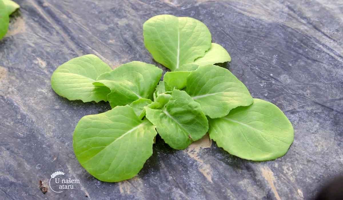 Agrosaveti - Proizvodnja zelene salate 01