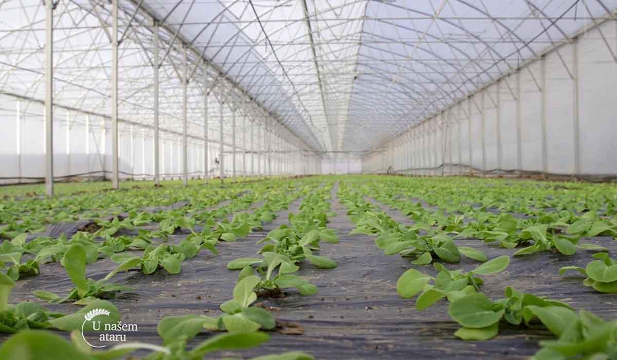 Agrosaveti - Proizvodnja zelene salate 02