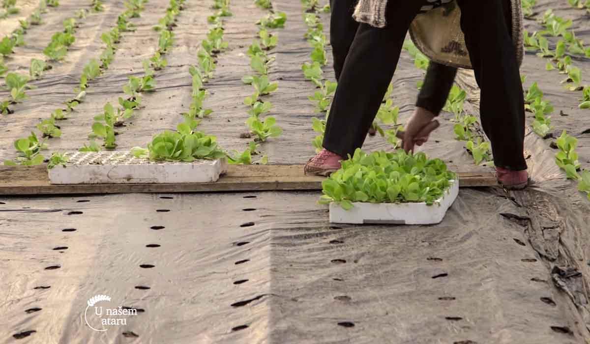 Agrosaveti - Proizvodnja zelene salate 03