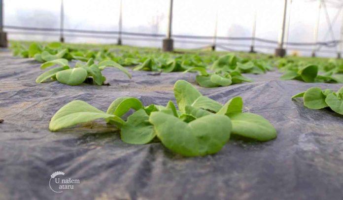 Agrosaveti - Proizvodnja zelene salate 04
