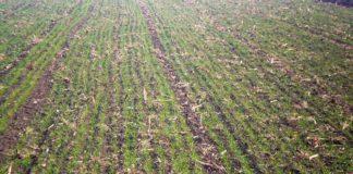 Agrosaveti - Proklijala pšenica 01