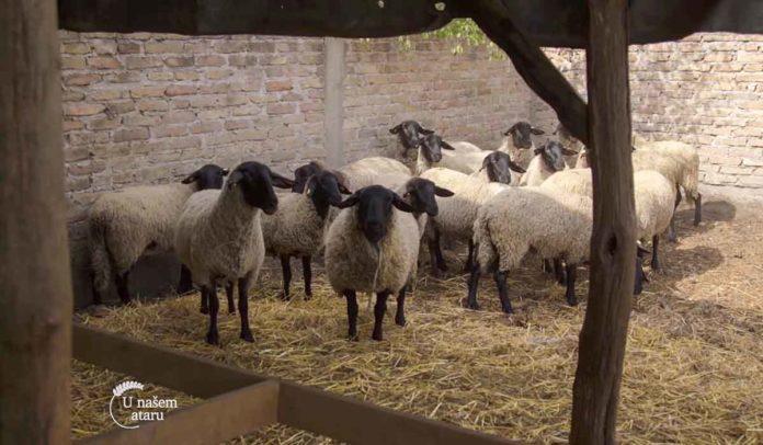 Agrosaveti - Safolk rasa ovaca 01