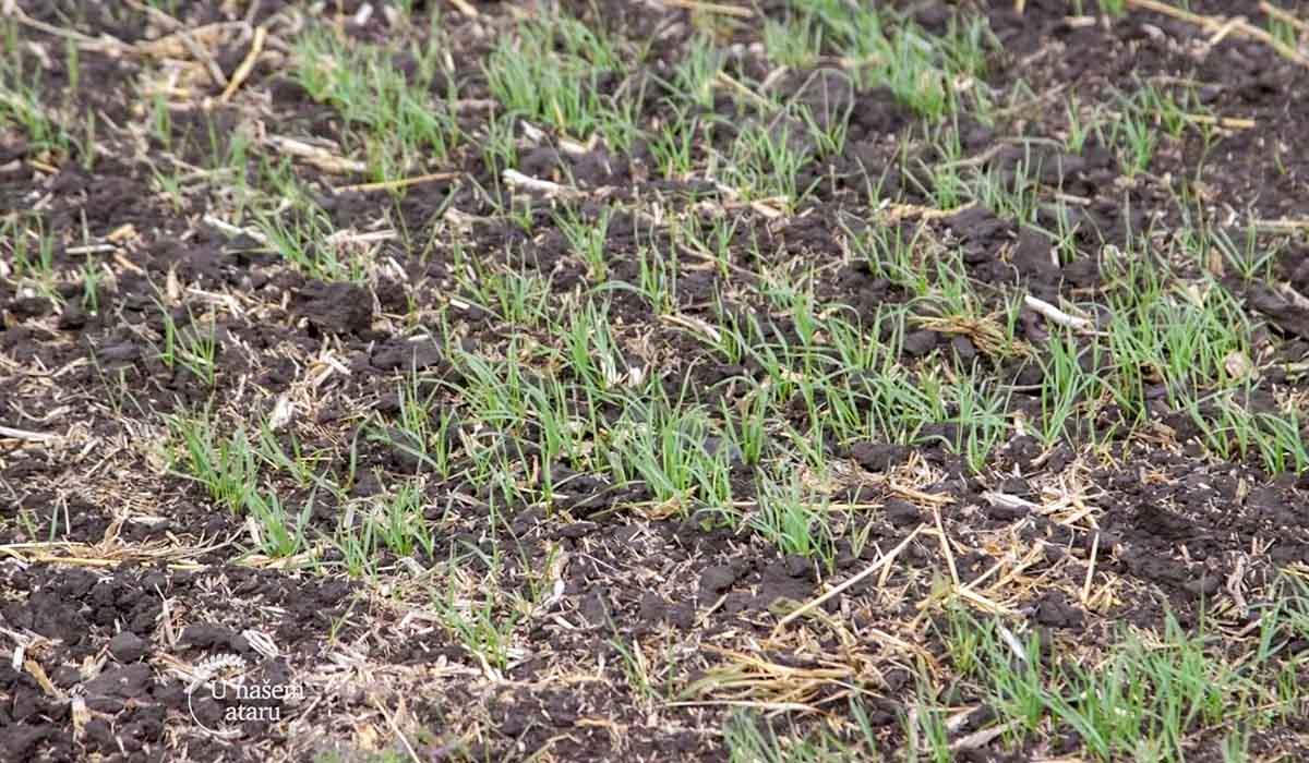 Agrosaveti - Stanje ozimih useva 02