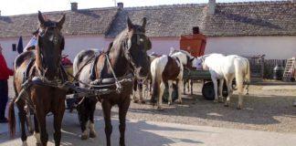 Agrosaveti - Uzgoj konja u selu Drenovac 01