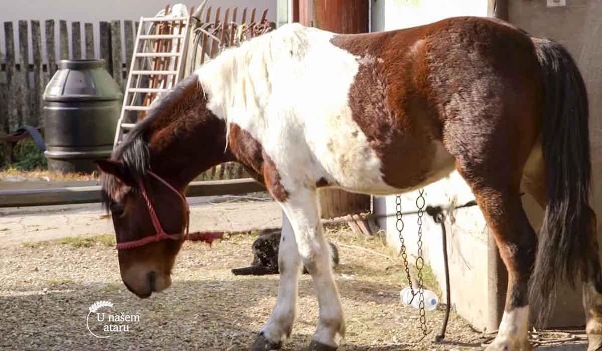 Agrosaveti - Uzgoj konja u selu Drenovac 02