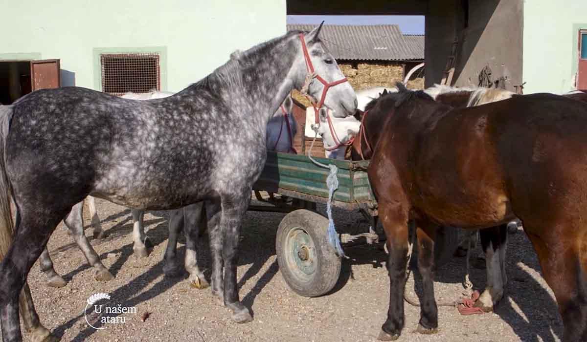 Agrosaveti - Uzgoj konja u selu Drenovac 03
