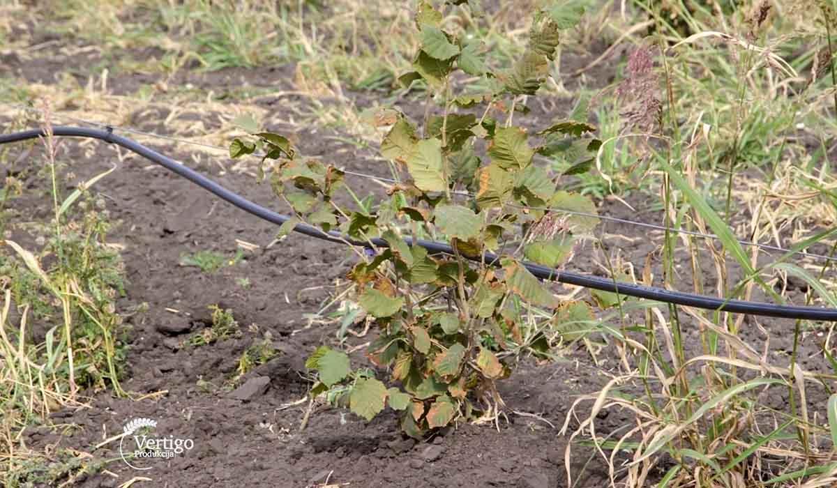 Agrosaveti - Uzgoj lešnika u Zrenjaninu 02