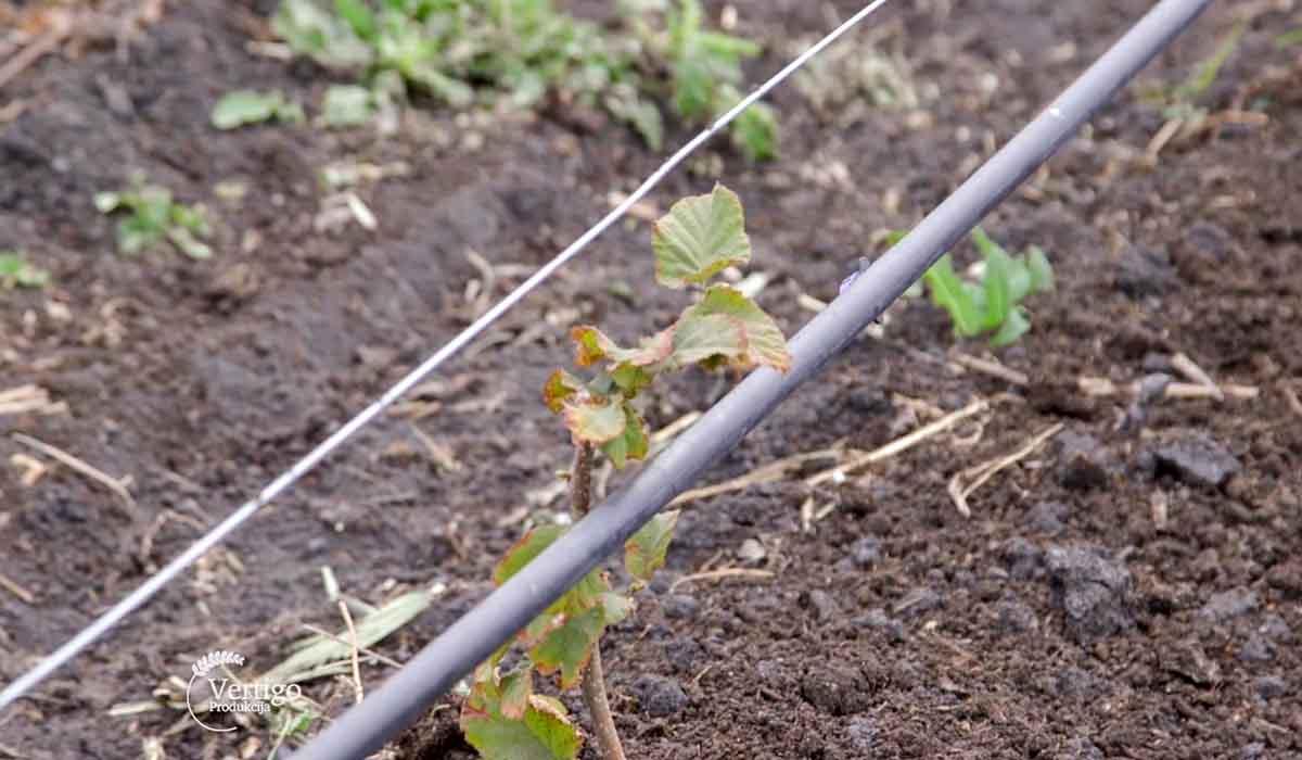 Agrosaveti - Uzgoj lešnika u Zrenjaninu 04