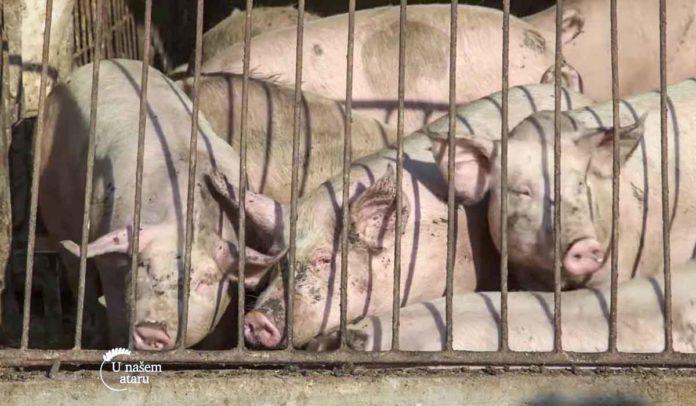 Agrosaveti - Uzgoj svinja u Drenovcu 01