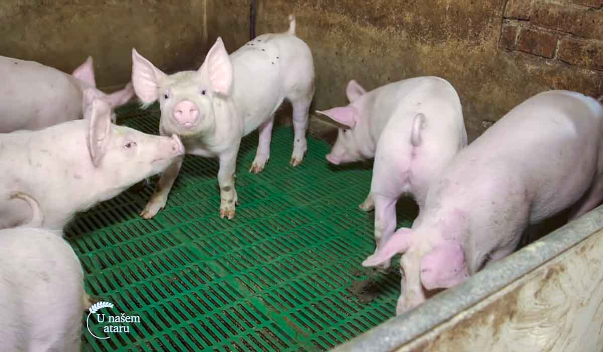 Agrosaveti - Uzgoj svinja u Drenovcu 04
