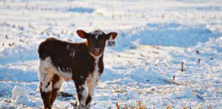 Agrosaveti - Zaštita stoke od hladnoće 01