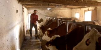 Agrosaveti---Farma-krava-Donja-Badanja---01