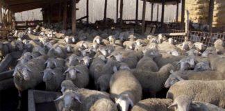 Agrosaveti---Farma-krava-i-ovaca---02