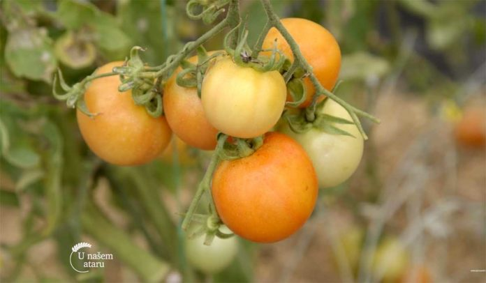Agrosaveti---Plastenicka-proizvodnja-paradajza---01