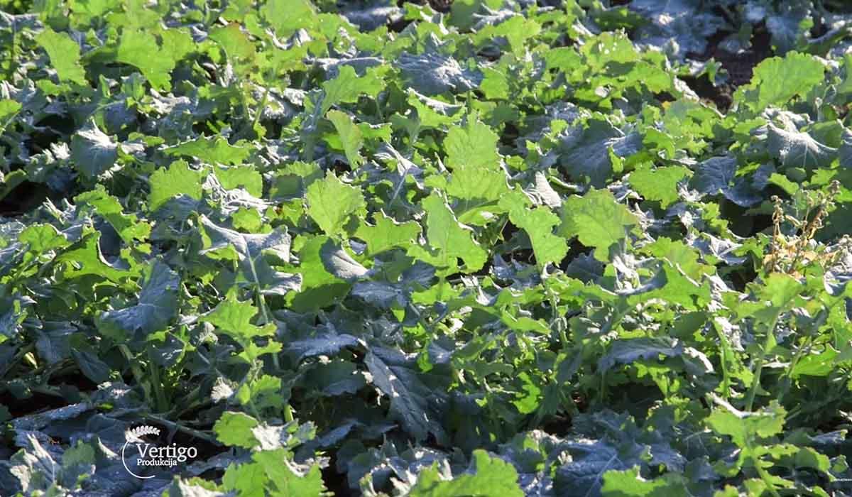 Agrosaveti - Stanje ozimih useva u Vrbasu 02
