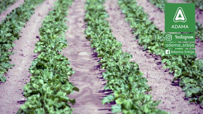 Agrosaveti---Adama---Secerna-repa---Proizvodnja---List---Seme---Setva-02