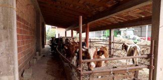 Agrosaveti---Farma-krava-i-proizvodnja-mleka-u-Bosni---01