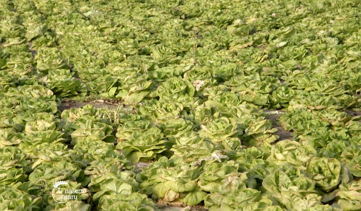 Agrosaveti---Plastenicka-proizvodnja-povrca---02