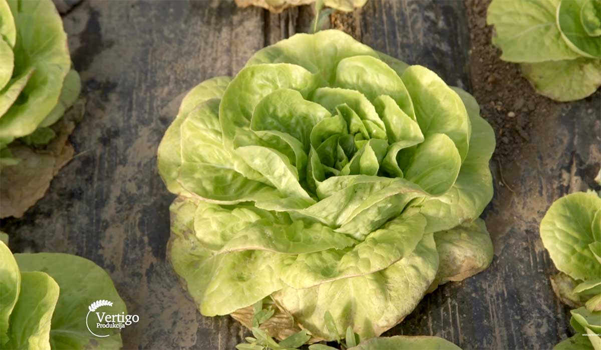 Agrosaveti---Plastenicka-proizvodnja-povrca---03