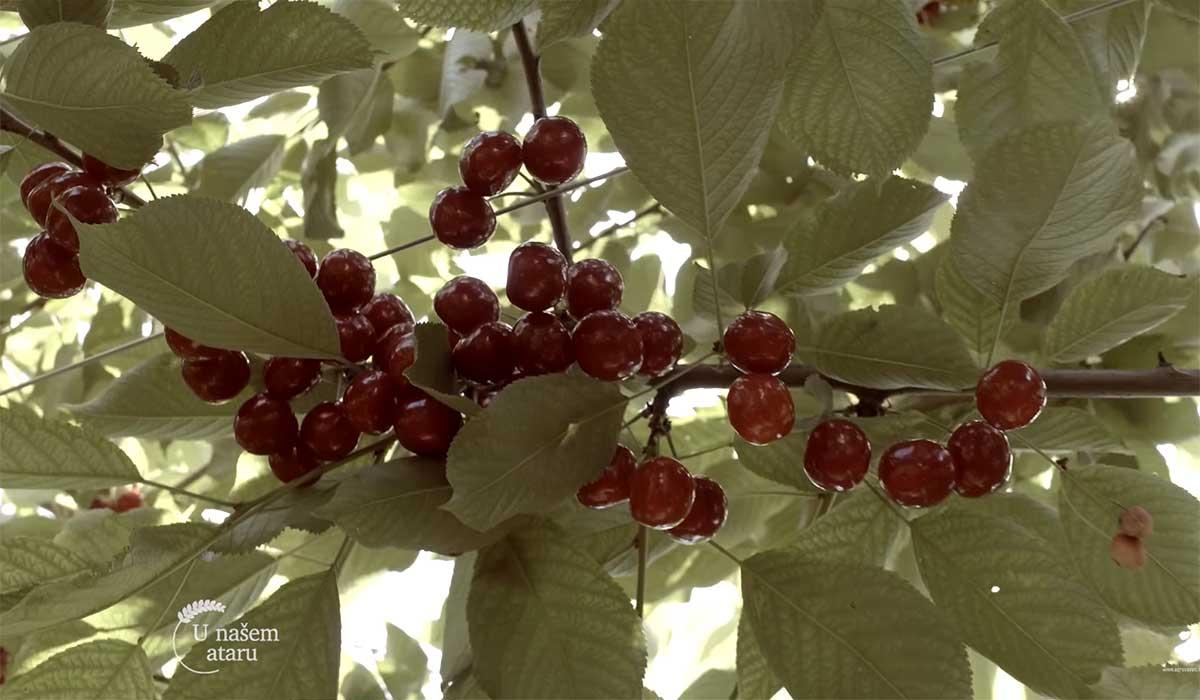 Agrosaveti---Primena-bioregulatora-u-vocarstvu---06