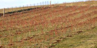 Agrosaveti---Proizvodnja-borovnice-u-Gornjoj-Resavi---03