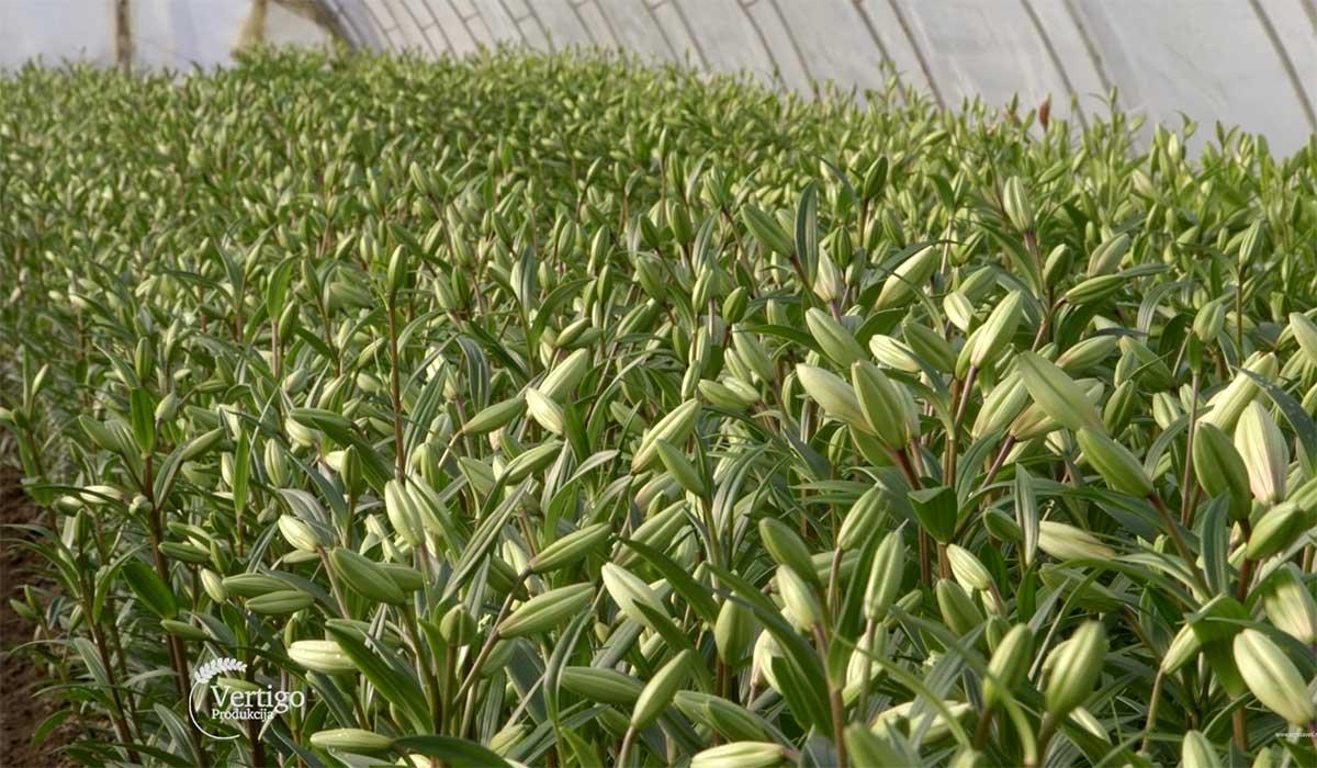 Agrosaveti---Proizvodnja-cveca,-ljilana-u-seu-Zirovnica---03