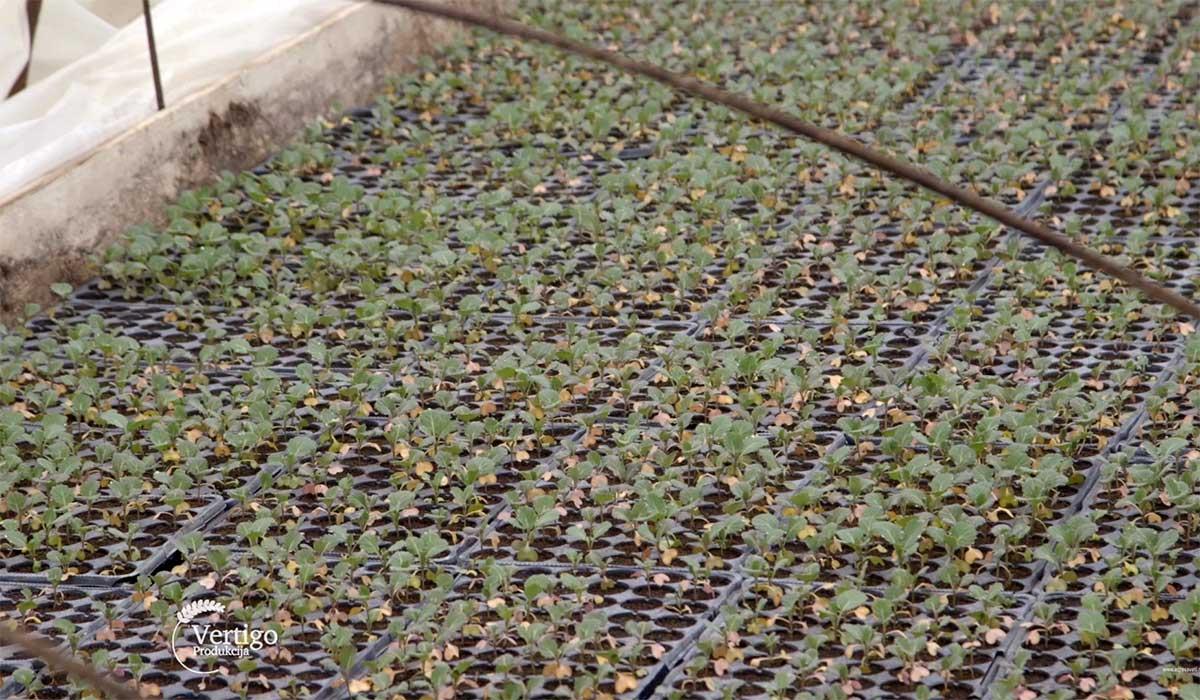 Agrosaveti---Proizvodnja-povrca-u-selu-Sovljak---01