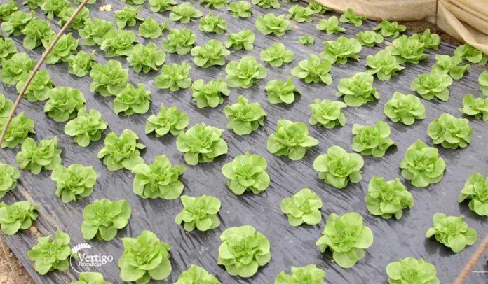 Agrosaveti---Proizvodnja-povrca-u-selu-Sovljak---02