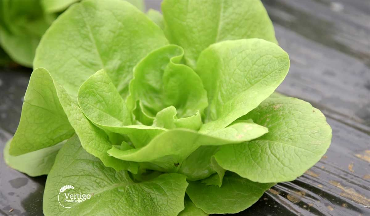 Agrosaveti---Proizvodnja-povrca-u-selu-Sovljak---03