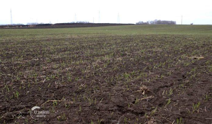 Agrosaveti---Trenutno-stanje-useva-psenice---01