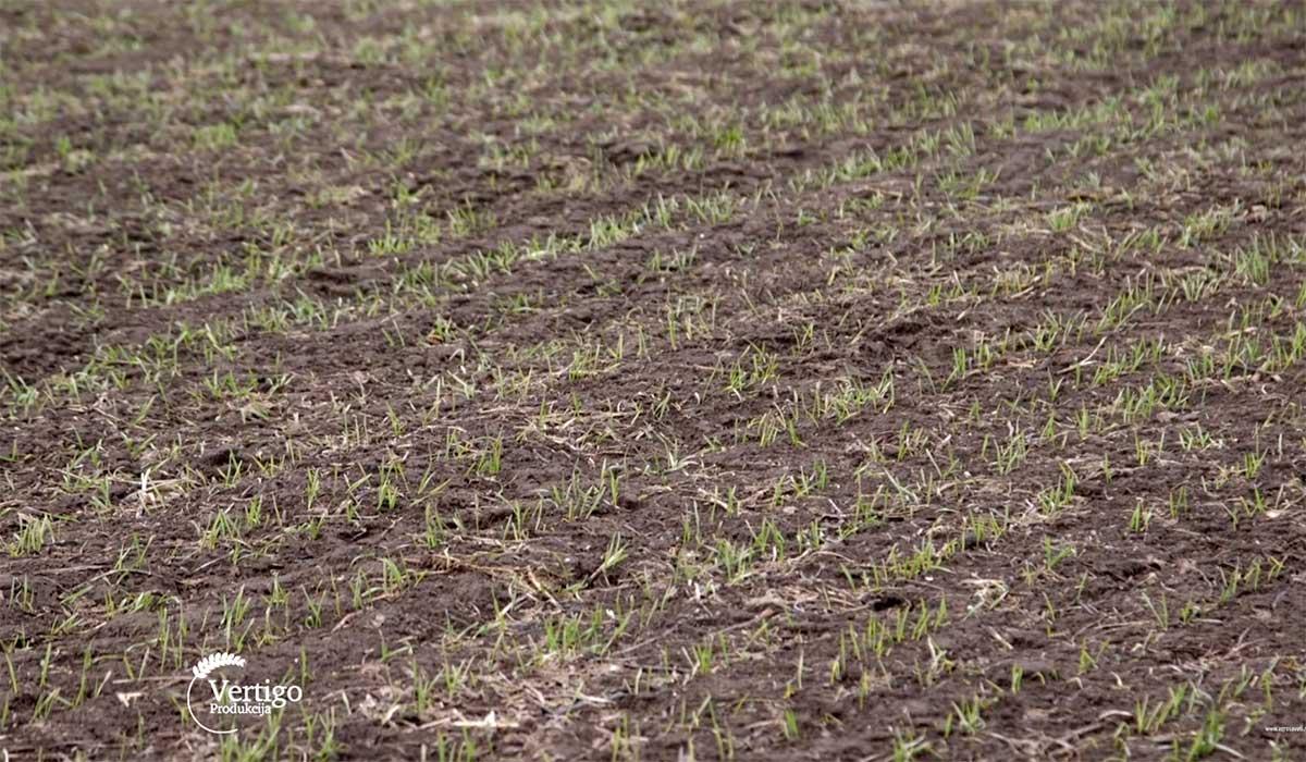 Agrosaveti---Trenutno-stanje-useva-psenice---02