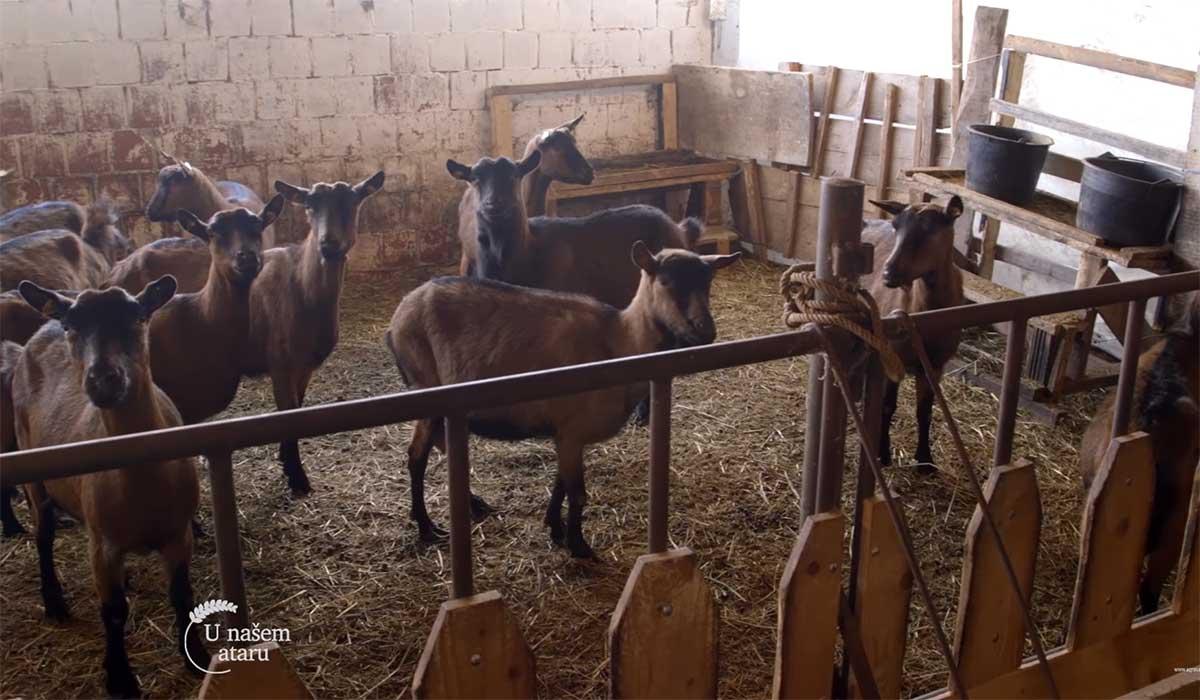 Agrosaveti---Uzgoj-koza-u-Sumadiji---01
