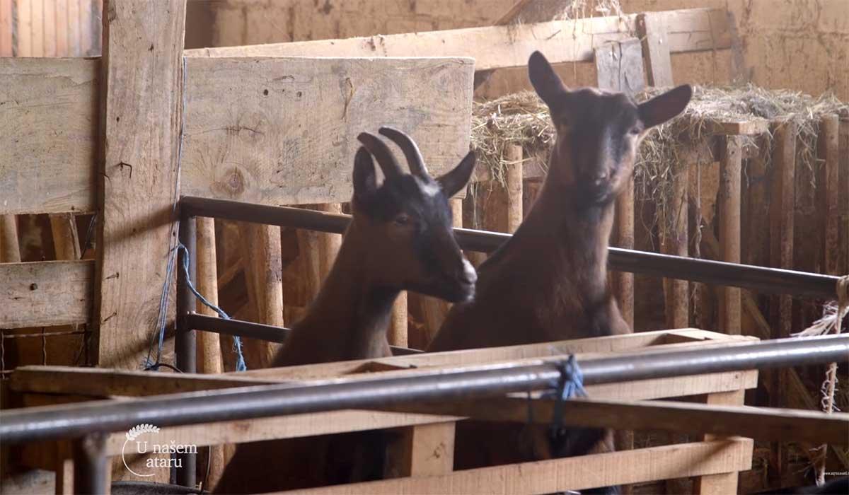 Agrosaveti---Uzgoj-koza-u-Sumadiji---02