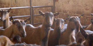 Agrosaveti---Uzgoj-koza-u-Sumadiji---03