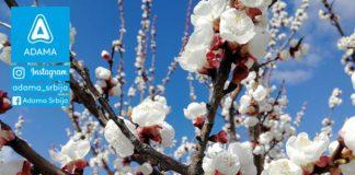 Agrosaveti---Adama---Kajsija---cvetanje---Monilia---supljikavost-lista-02