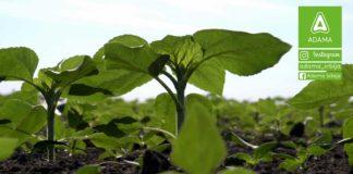 Agrosaveti---Adama---Suncokret---Proizvodnja---Prskanje-na-crno---Seme---Setva-01