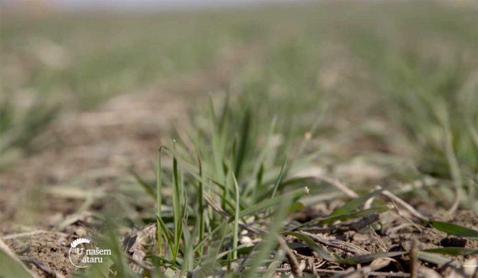 Agrosaveti---Aktuelno-stanje-strnih-zita---02