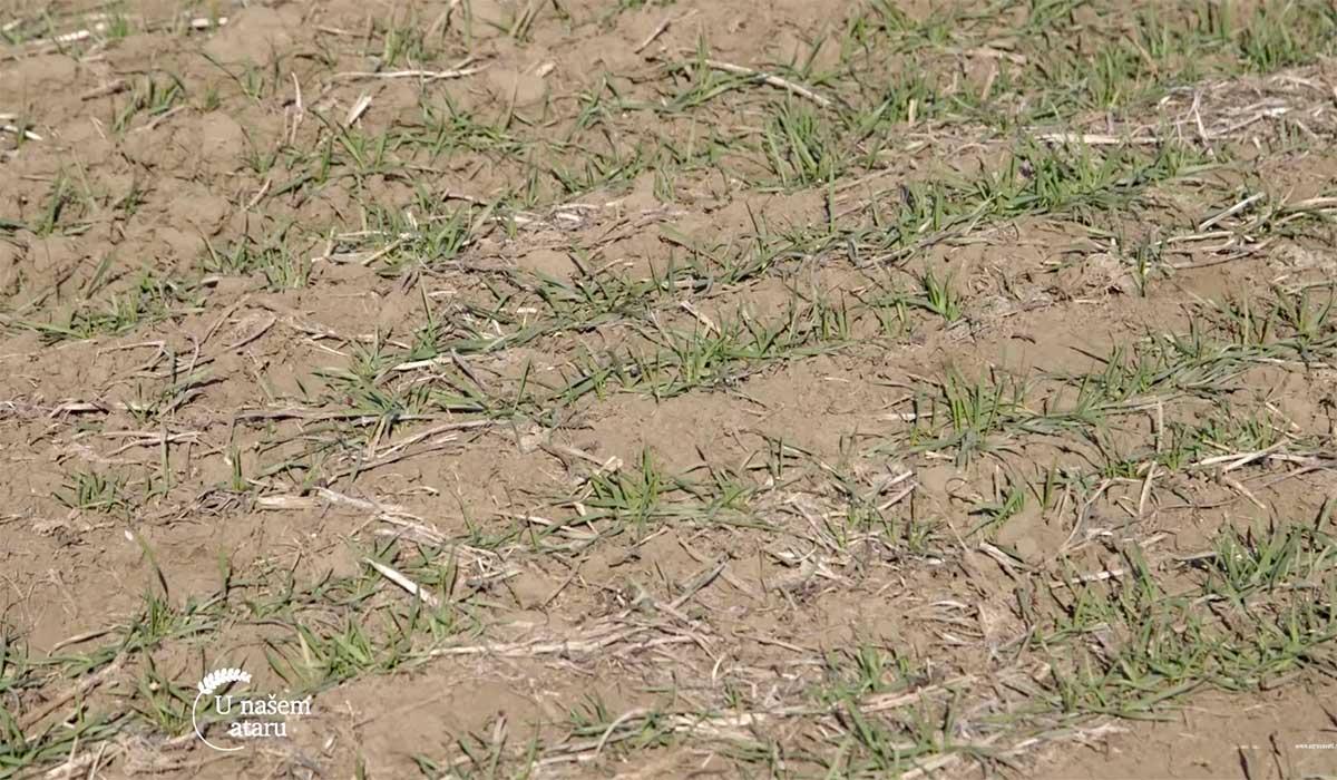 Agrosaveti---Aktuelno-stanje-strnih-zita---03