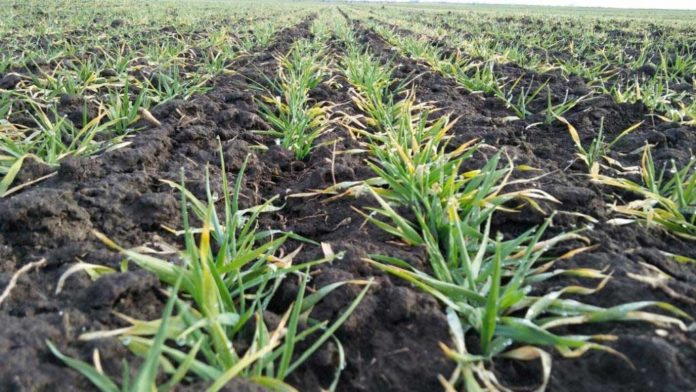 Agrosaveti---Galenika-fitofarmacija---psenica-00
