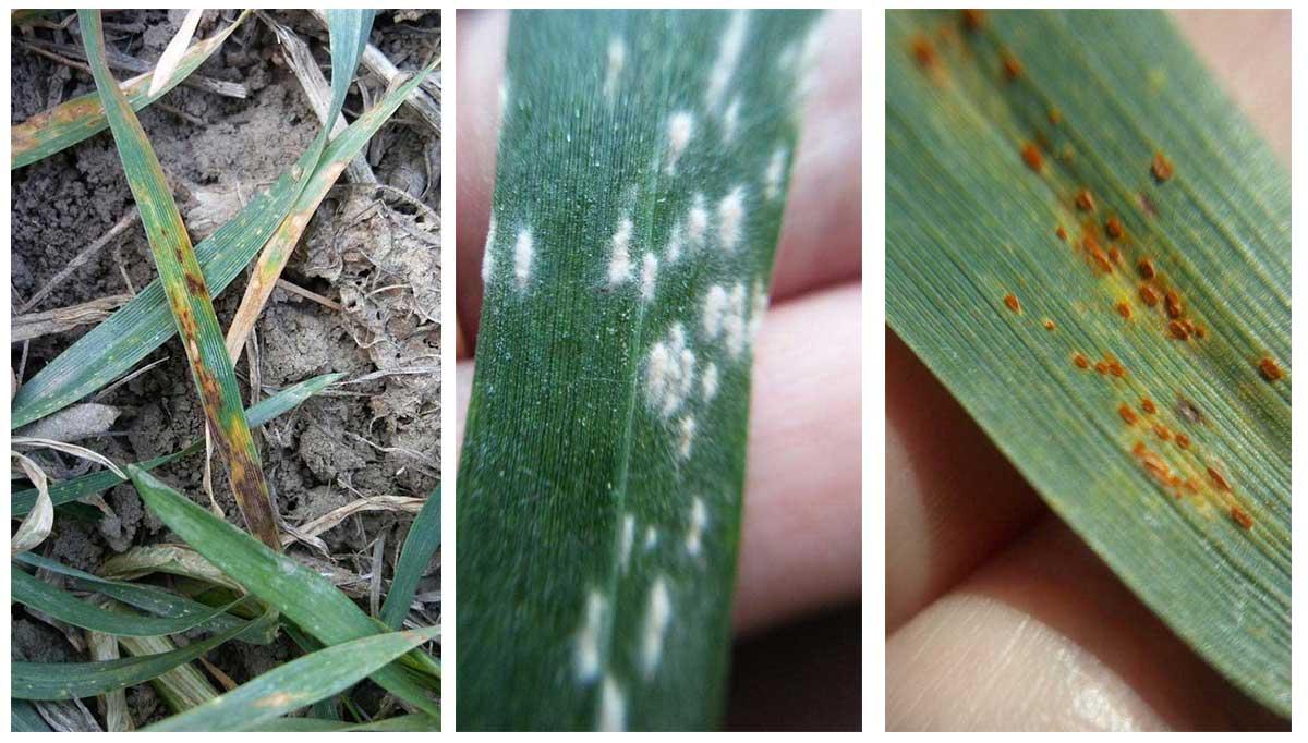 Agrosaveti---Galenika-fitofarmacija---psenica-05