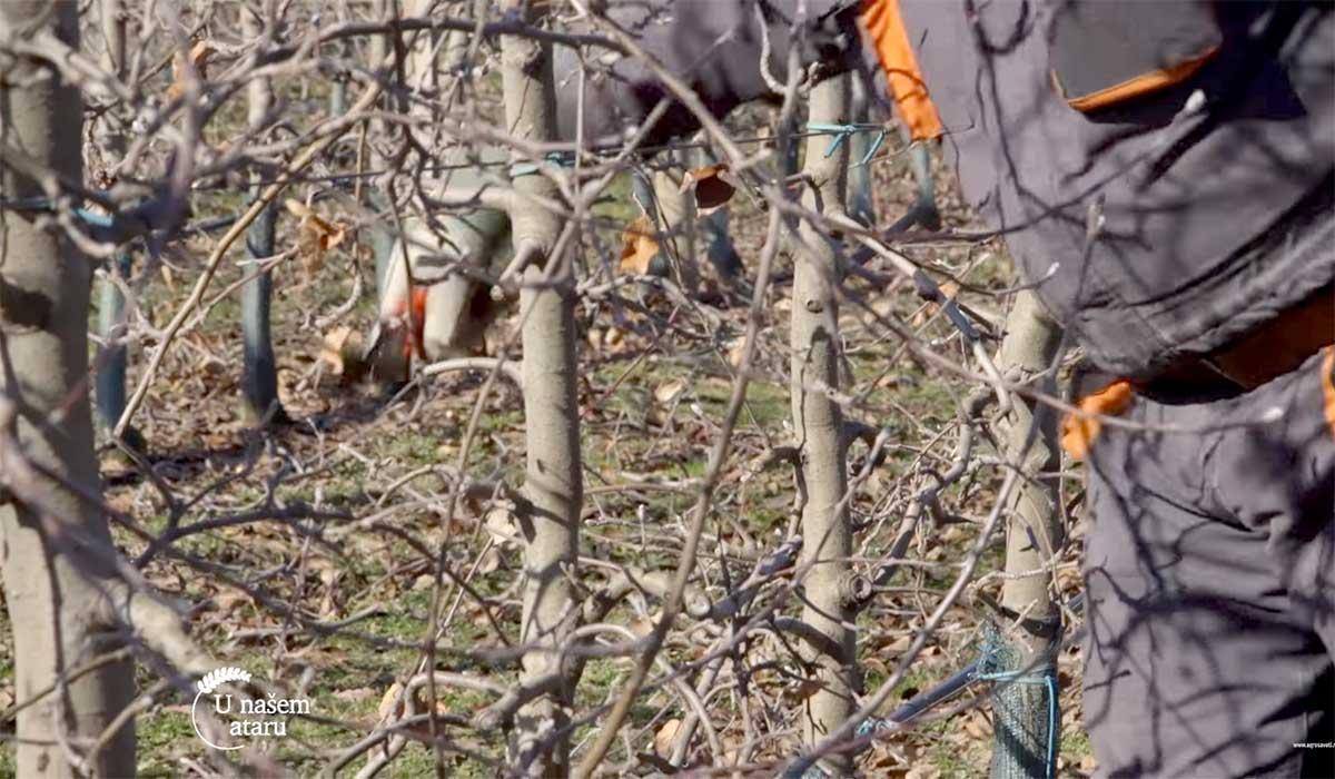 Agrosaveti---Pravilna-rezidba-jabuka---01