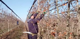 Agrosaveti---Pravilna-rezidba-jabuka---04