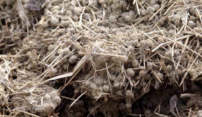 Agrosaveti---Primena-komposta-u-proizvodnji-jagoda---03