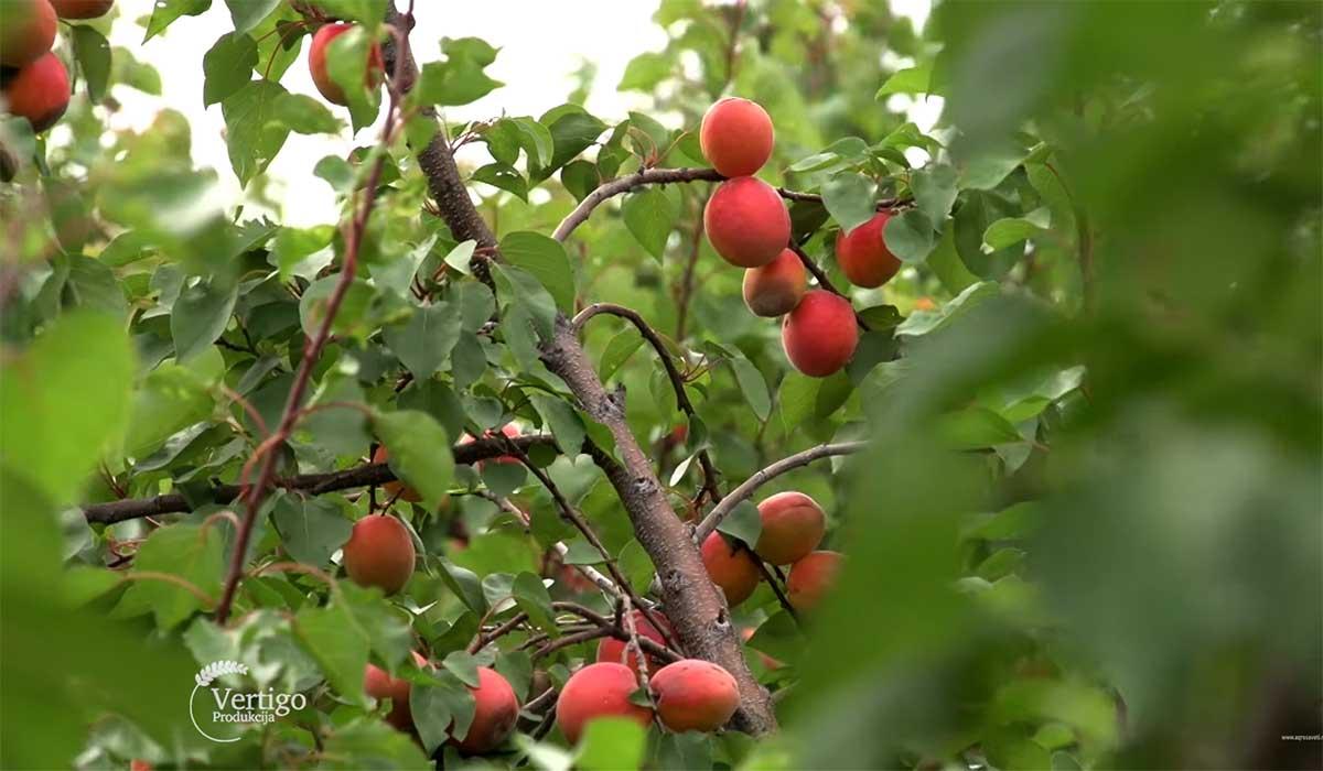 Agrosaveti---Proizvodnja-kajsije-u-selu-Bare---03